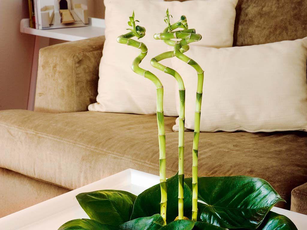 El bambú y sus cuidados
